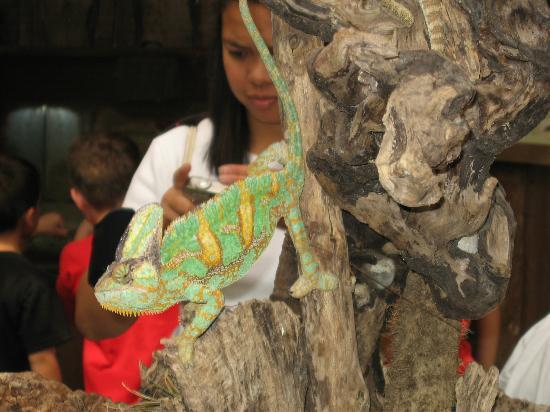 Montegrotto Terme, Italy: chameleon