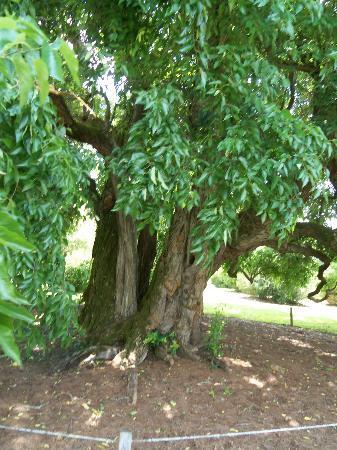 Red Hill Patrick Henry National Memorial: Osage Orange Tree