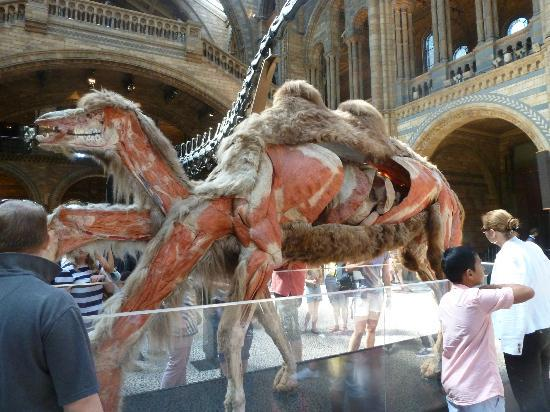 D Exhibition London : Camel from the gunther von hagens exhibition picture of