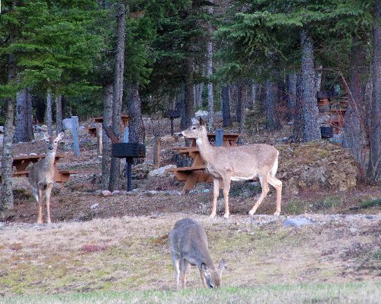 Timber Wolf Resort: Deer