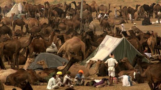 Pushkar Camel Fair: Camel Fair Scenes - Pushkar