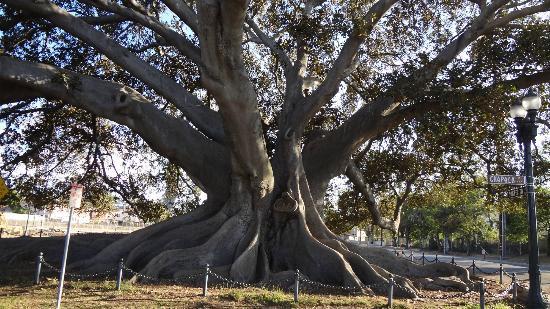 Moreton Bay Fig Tree : Tree