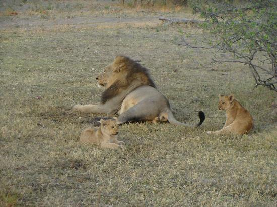 Wilderness Safaris Kings Pool Camp : Romero and Cubs