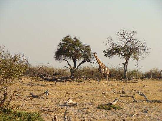 Wilderness Safaris Kings Pool Camp: Giraffe