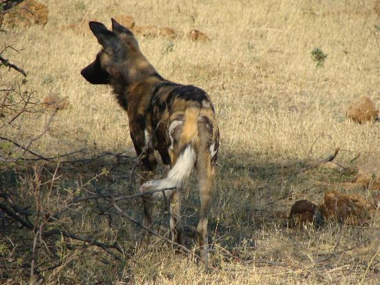 Wilderness Safaris Kings Pool Camp: One Wild Dog from a Large Pack Sleeping Nearby