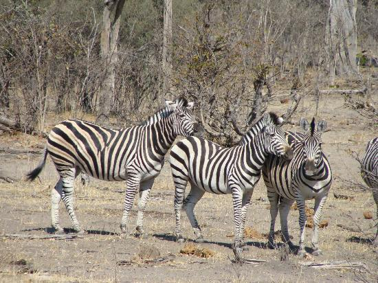 Wilderness Safaris Kings Pool Camp: Zebra Herd + 12 more unpictured