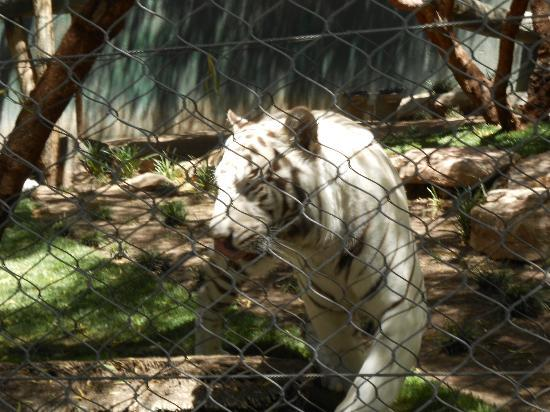White Tiger Habitat at the Mirage: beautiful creatures