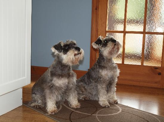 Mavisburn Bed & Breakfast: Adorable schnauzers!