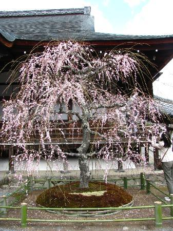 Tenryuji Temple: Weeping cherry tree in front of the main hall