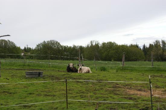 Seaside Farm: Bull and cow