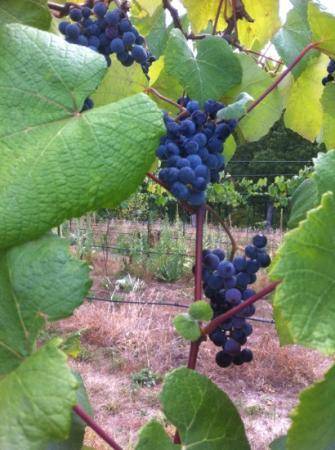 Seven Springs Winery: some of the beautiful grapevines you pass coming in.