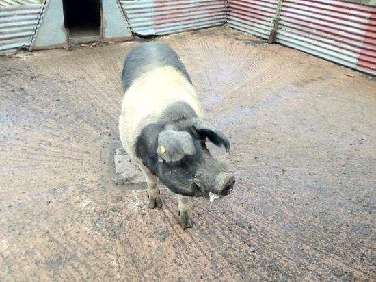 Tannaghmore Farm and Gardens: big pig