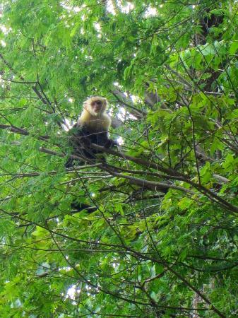 Four Seasons Resort Costa Rica at Peninsula Papagayo: Blanco faced monkey on the resort