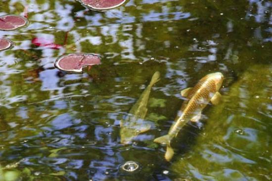 Secret Garden Bed & Breakfast Inn: Koi is the pond