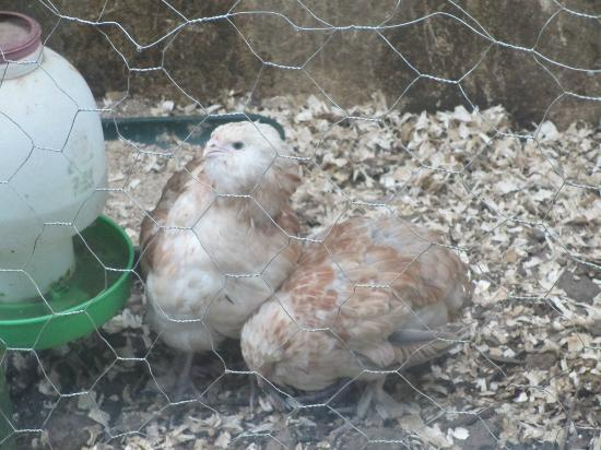 Oak Lodge Bed and Breakfast: New chicks!