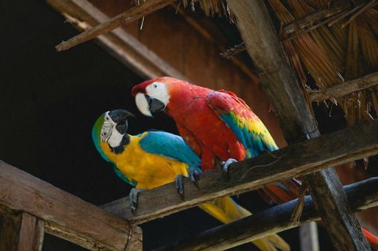 Cumaceba Lodge: The parrots around the kitchen
