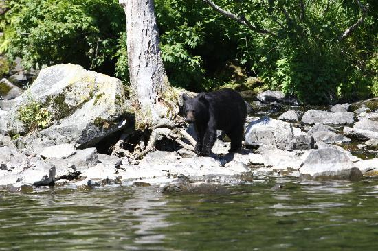 Talon Air Service: Black bear at Wolverine Creek