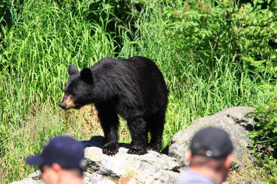 Talon Air Service: Bear at Wolverine Creek