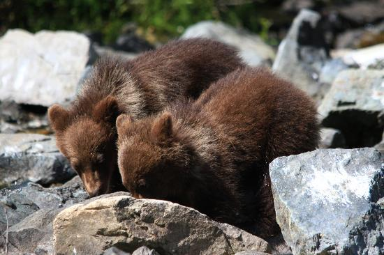 Talon Air Service: Baby bears foraging at Wolverine Creek