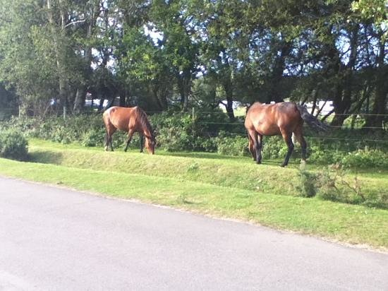 Holmsley Campsite: ponies just outside the site