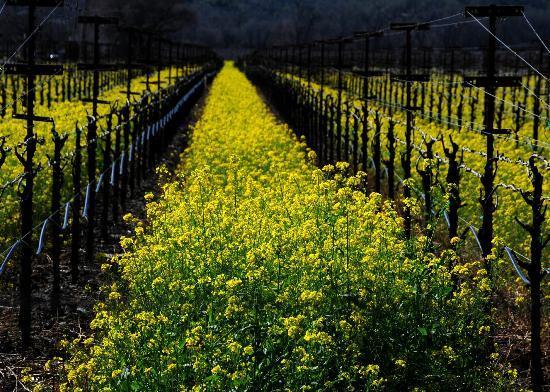 Medlock Ames Winery: vineyards