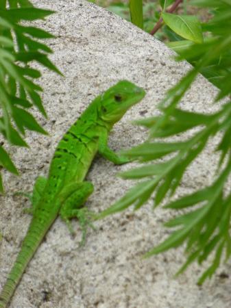 Empalme a Las Playas: Iguana