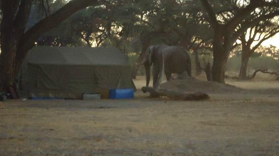 An ellie near the Khwai Tented Camp kitchen