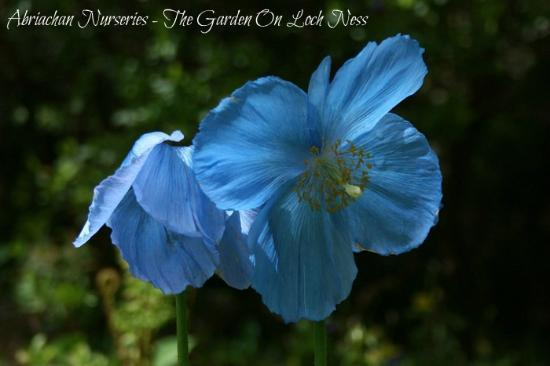 Abriachan Nurseries - The Garden On Loch Ness: Meconopsis sheldonii
