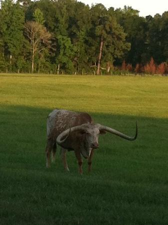 Southern Stables Bed & Breakfast: A Longhorn, view from breakfast room