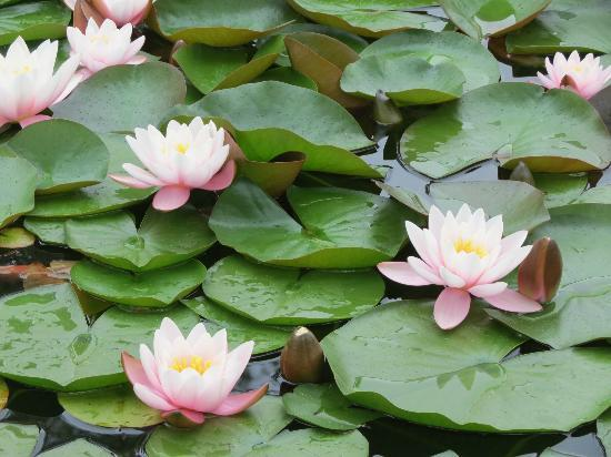 Yampa River Botanic Park: Water Lilly's