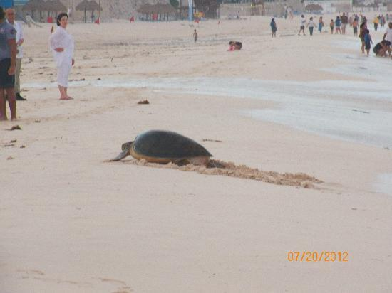 Sun Palace: Turtle on beach to lay eggs