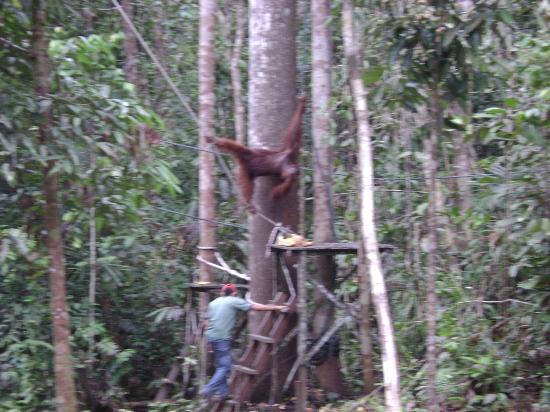 Kuching Wetlands National Park: อูรังอูตัง ที่ ศูนย์อนุรักษ์พันธ์สัตว์ป่า เซมงโกะห์ กูชิง ซาราวัค มาเลเซีย
