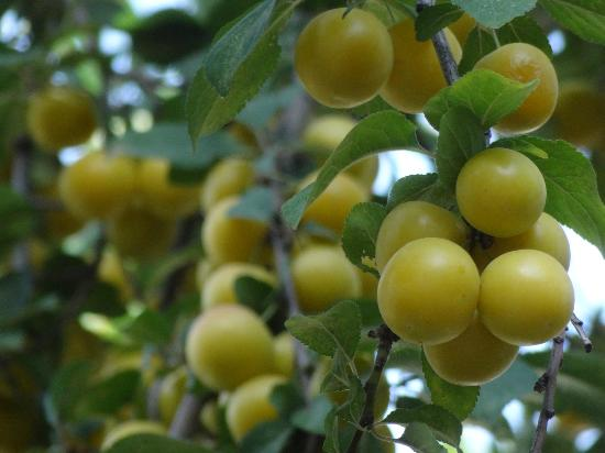 """Gumus (Silver) Cave Hotel: These are small white plums called, """"erik"""""""