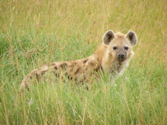 Keekorok Lodge-Sun Africa Hotels: Hyena on Masai Mara