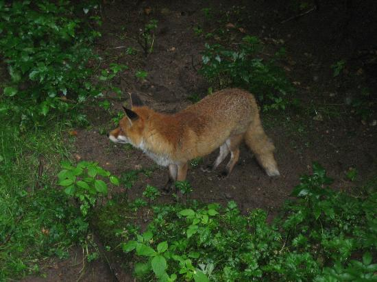 Bad Segeberg, Germany: a fox