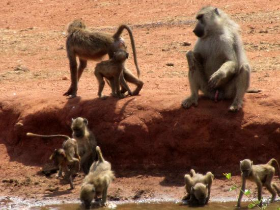 F. King Tours and Safaris - Day Tours: Baboons drinking at a waterhole