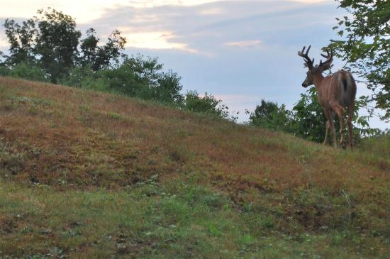 Irondequoit Inn: buck on the property at dawn