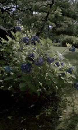 Kiyosumi Teien: 紫陽花