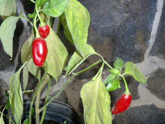 Casita Corcovado: Peppers to taste