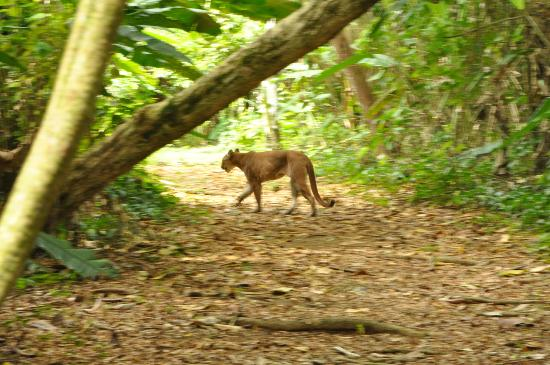 Casa Corcovado Jungle Lodge: Puma on trail between ranger station and hotel!!