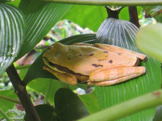 Allegro Papagayo: rainforest frog on the rainforest walking tour