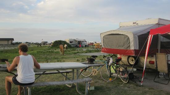 Assateague State Park Camping: Wild ponies roaming the campground