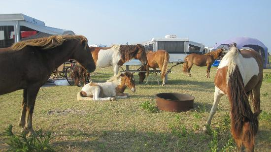 Assateague State Park Camping: Lots of visitors on our campsite
