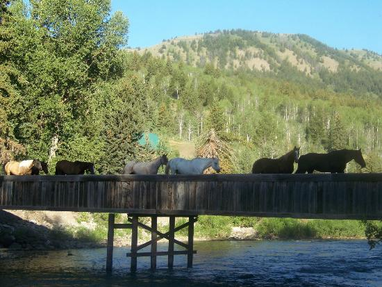 Spotted Horse Ranch: Horses Crossing The Bridge