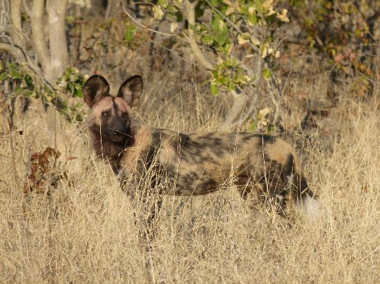Wilderness Safaris DumaTau Camp: One of the wild dog pack