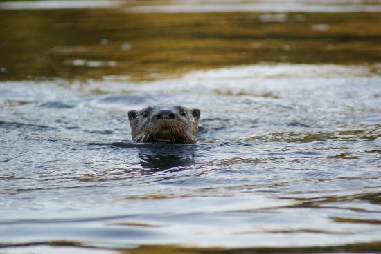 Algonquin Eco-Lodge: Curious beavers are playing around