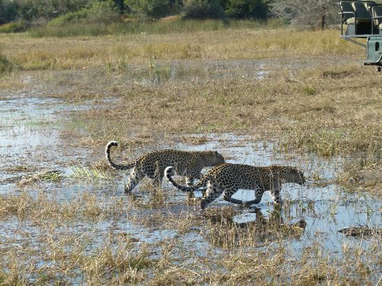 Kwetsani Camp: Mother/daughter leopards on the prowl