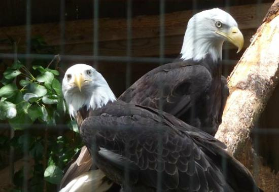 North Island Wildlife Recovery Centre: bald eagles