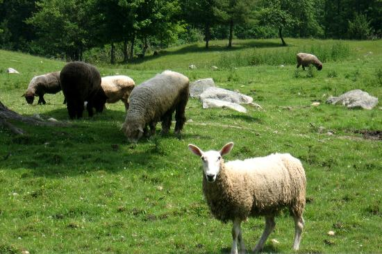 Sabbathday Lake Shaker Village: Sheep