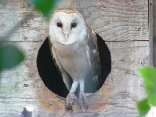 North Island Wildlife Recovery Centre: Barn Owl
